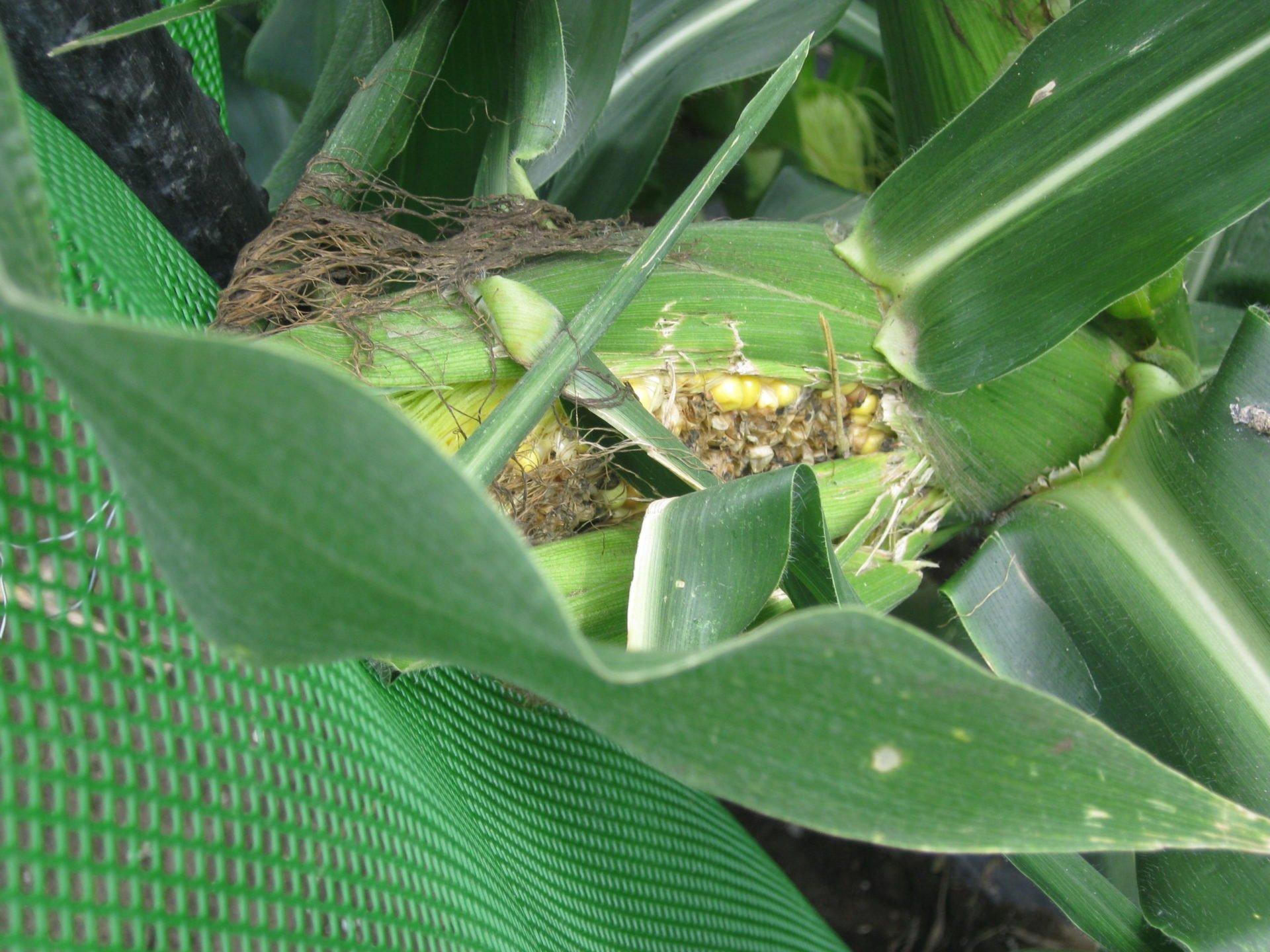 トウモロコシの害虫を駆除するために農薬を散布