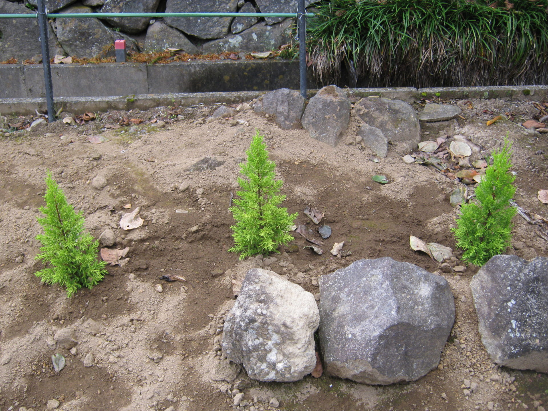 生垣を作りたいと思いコニファー(針葉樹の総称)を植えました。